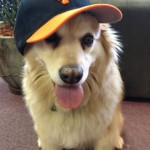 Peanut the dog wearing a Giants cap